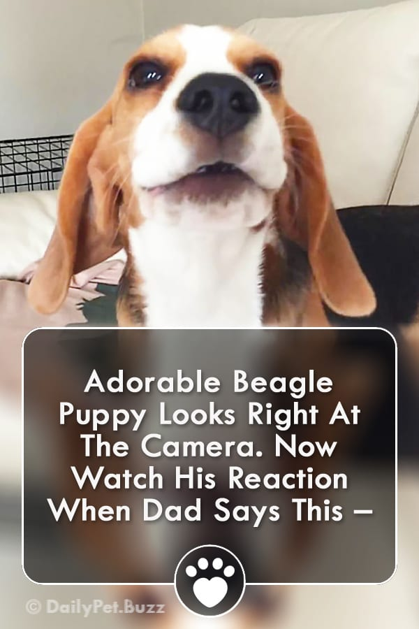 Adorable Beagle Puppy Looks Right At The Camera. Now Watch His Reaction When Dad Says This –