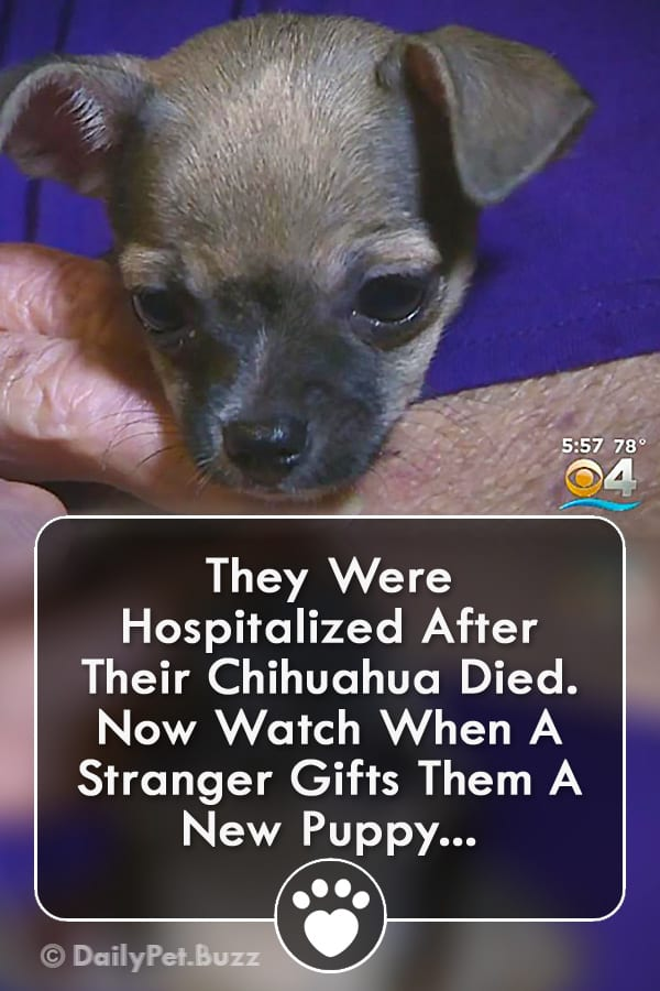 They Were Hospitalized After Their Chihuahua Died. Now Watch When A Stranger Gifts Them A New Puppy...