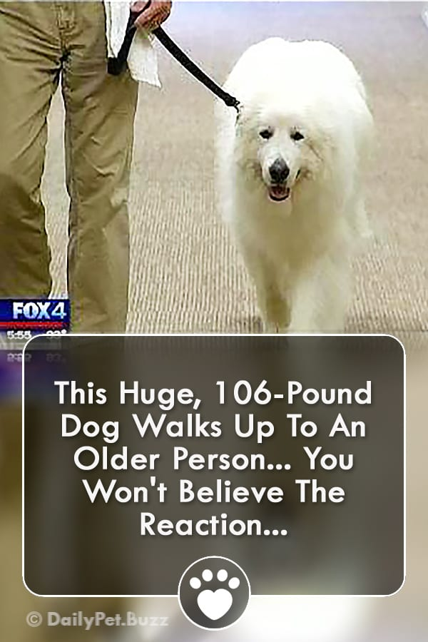 This Huge, 106-Pound Dog Walks Up To An Older Person... You Won\'t Believe The Reaction...