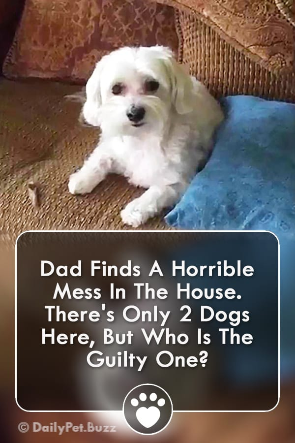 Dad Finds A Horrible Mess In The House. There\'s Only 2 Dogs Here, But Who Is The Guilty One?