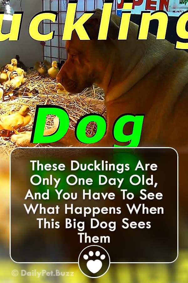 These Ducklings Are Only One Day Old, And You Have To See What Happens When This Big Dog Sees Them