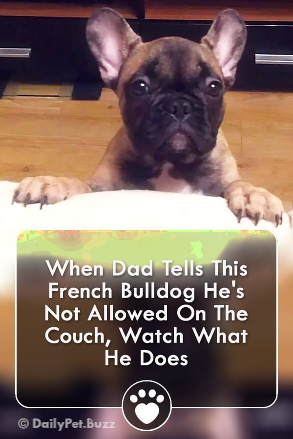 When Dad Tells This French Bulldog He\'s Not Allowed On The Couch, Watch What He Does