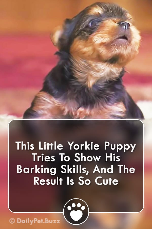 This Little Yorkie Puppy Tries To Show His Barking Skills, And The Result Is So Cute