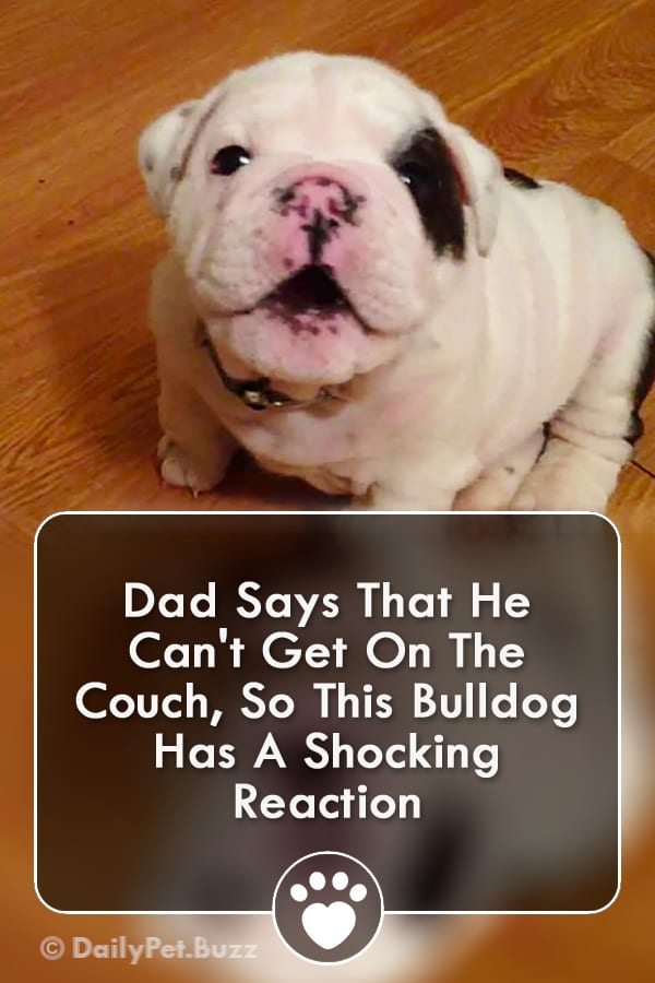 Dad Says That He Can\'t Get On The Couch, So This Bulldog Has A Shocking Reaction