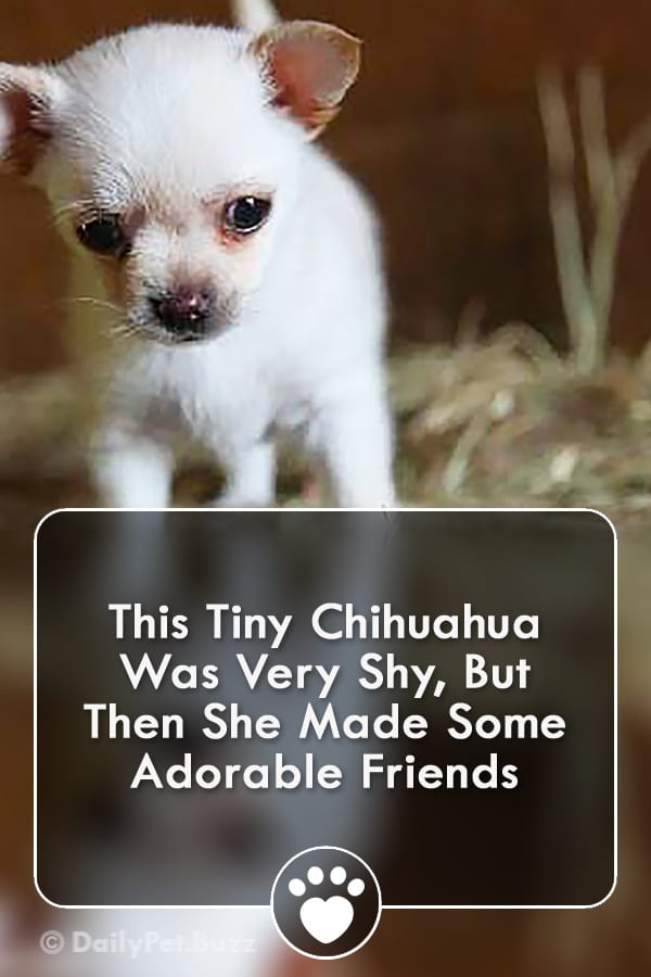 This Tiny Chihuahua Was Very Shy, But Then She Made Some Adorable Friends