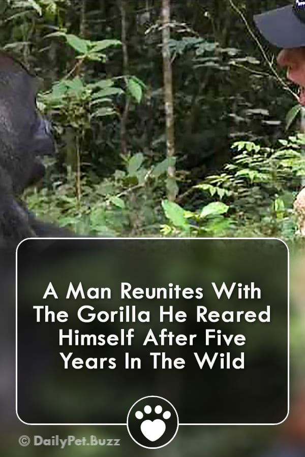 A Man Reunites With The Gorilla He Reared Himself After Five Years In The Wild