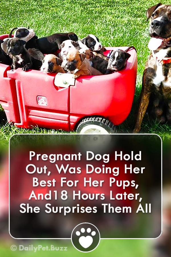 Pregnant Dog Hold Out, Was Doing Her Best For Her Pups, And18 Hours Later, She Surprises Them All