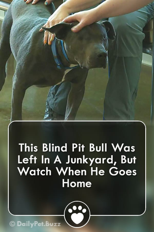 This Blind Pit Bull Was Left In A Junkyard, But Watch When He Goes Home