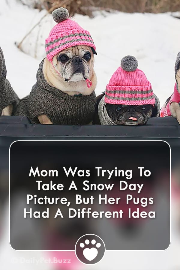 Mom Was Trying To Take A Snow Day Picture, But Her Pugs Had A Different Idea