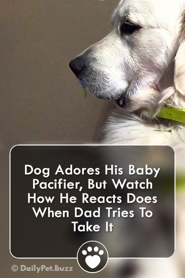 Dog Adores His Baby Pacifier, But Watch How He Reacts Does When Dad Tries To Take It