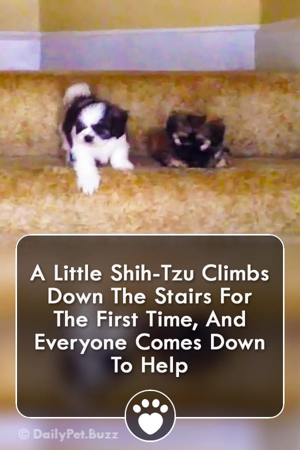 A Little Shih-Tzu Climbs Down The Stairs For The First Time, And Everyone Comes Down To Help