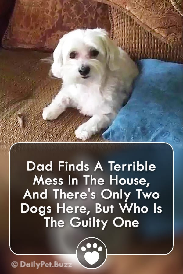 Dad Finds A Terrible Mess In The House, And There\'s Only Two Dogs Here, But Who Is The Guilty One