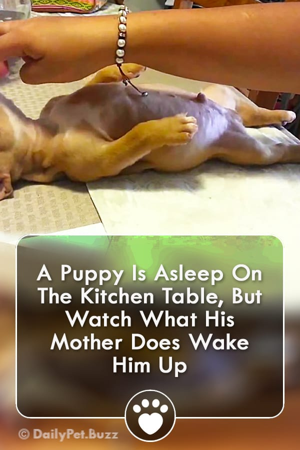 A Puppy Is Asleep On The Kitchen Table, But Watch What His Mother Does Wake Him Up