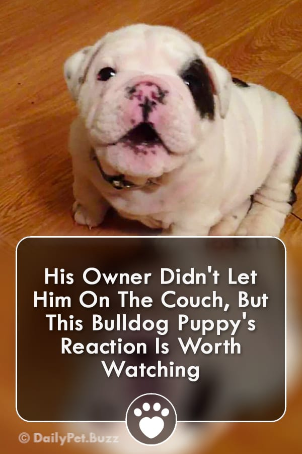 His Owner Didn\'t Let Him On The Couch, But This Bulldog Puppy\'s Reaction Is Worth Watching