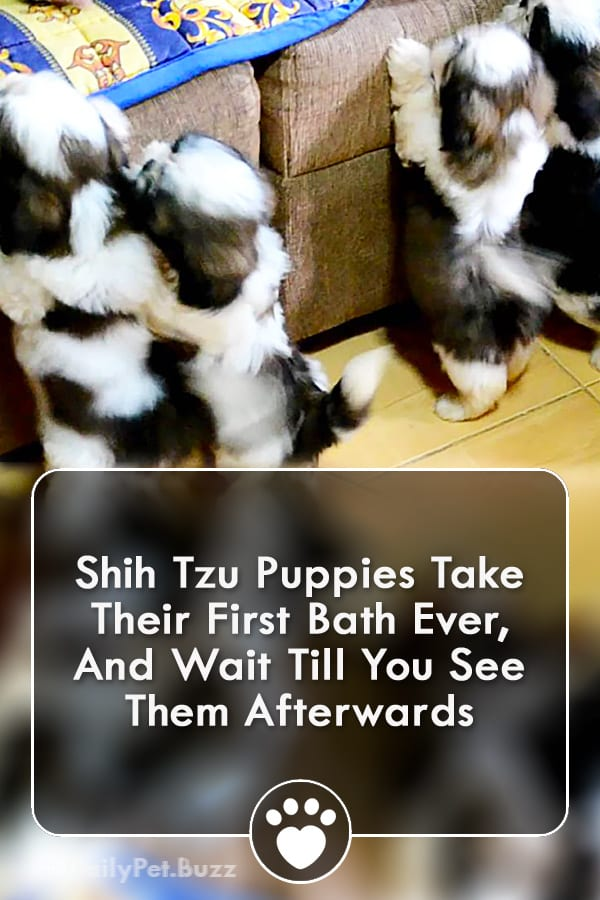 Shih Tzu Puppies Take Their First Bath Ever, And Wait Till You See Them Afterwards