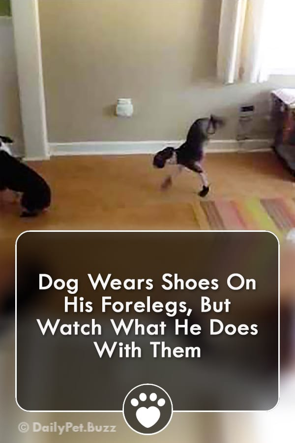 Dog Wears Shoes On His Forelegs, But Watch What He Does With Them