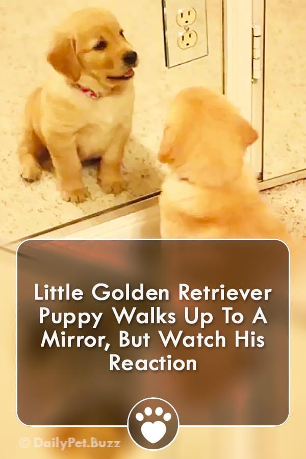 Little Golden Retriever Puppy Walks Up To A Mirror, But Watch His Reaction