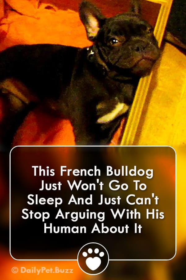 This French Bulldog Just Won\'t Go To Sleep And Just Can\'t Stop Arguing With His Human About It