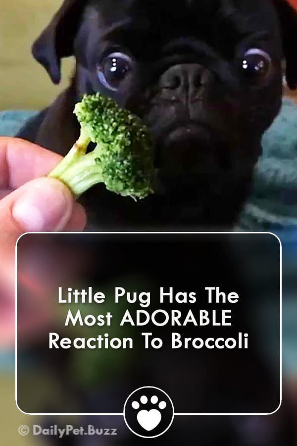 Little Pug Has The Most ADORABLE Reaction To Broccoli