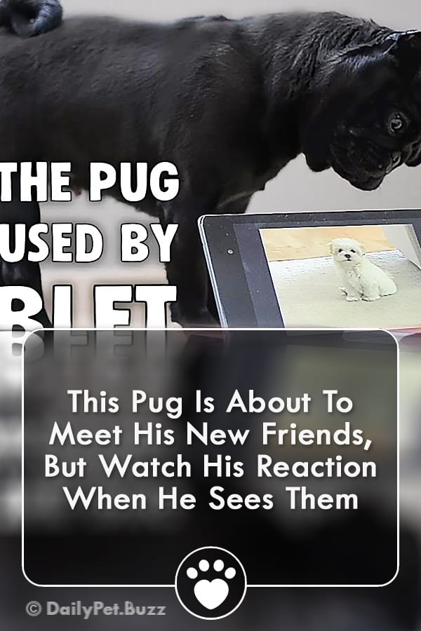 This Pug Is About To Meet His New Friends, But Watch His Reaction When He Sees Them