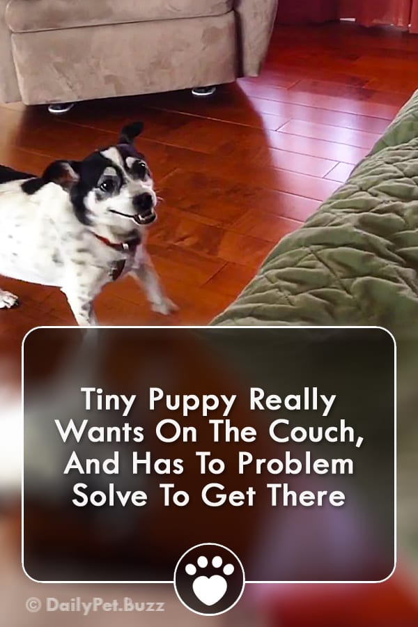 Tiny Puppy Really Wants On The Couch, And Has To Problem Solve To Get There