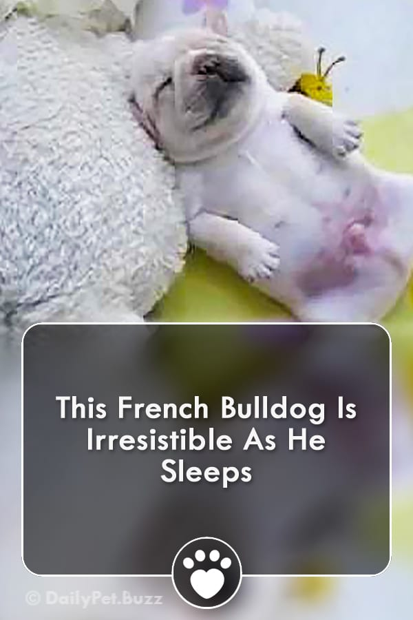 This French Bulldog Is Irresistible As He Sleeps