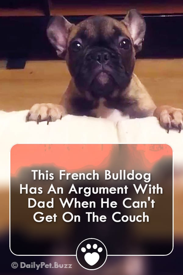 This French Bulldog Has An Argument With Dad When He Can\'t Get On The Couch