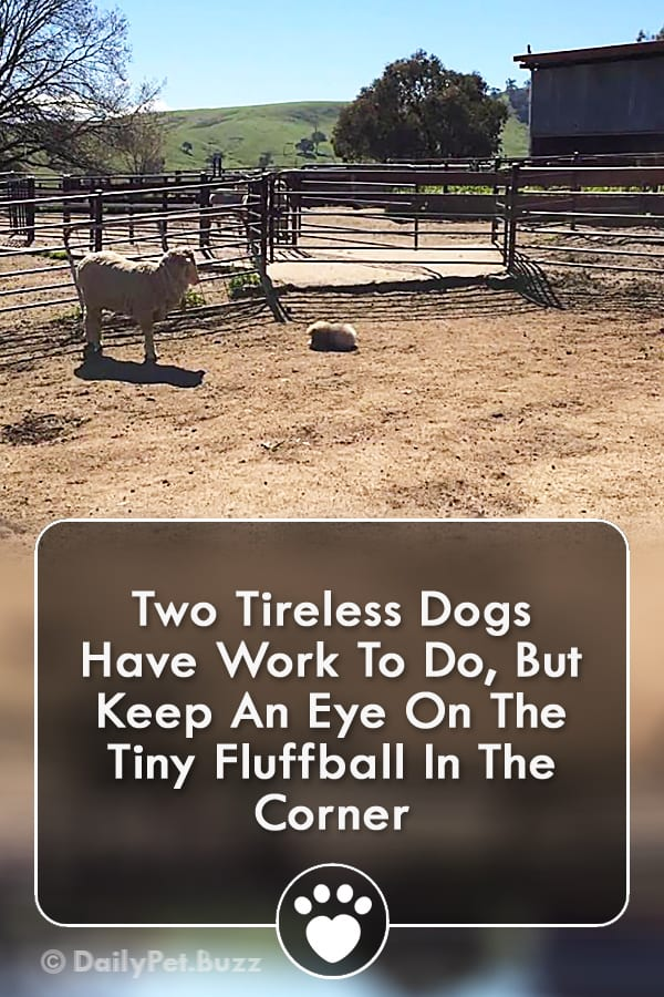 Two Tireless Dogs Have Work To Do, But Keep An Eye On The Tiny Fluffball In The Corner