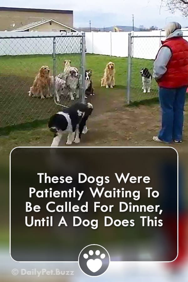 These Dogs Were Patiently Waiting To Be Called For Dinner, Until A Dog Does This
