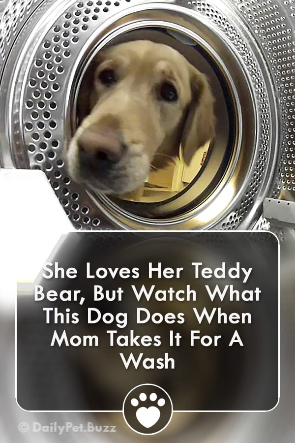 She Loves Her Teddy Bear, But Watch What This Dog Does When Mom Takes It For A Wash