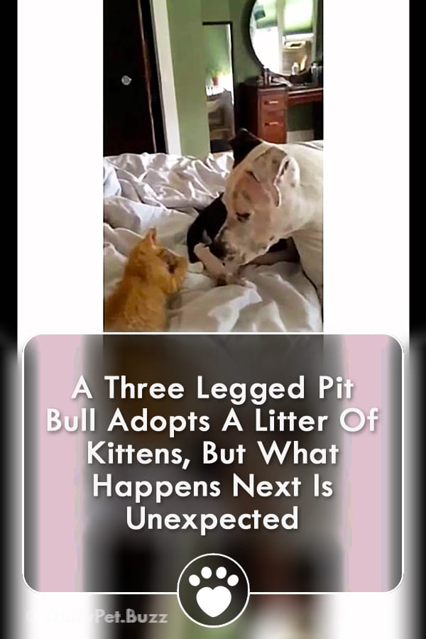 A Three Legged Pit Bull Adopts A Litter Of Kittens, But What Happens Next Is Unexpected