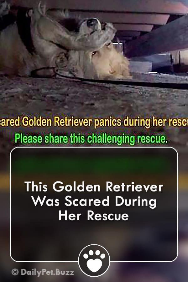 This Golden Retriever Was Scared During Her Rescue