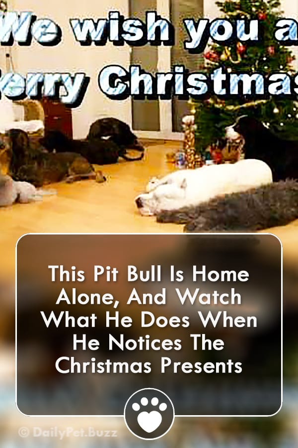 This Pit Bull Is Home Alone, And Watch What He Does When He Notices The Christmas Presents