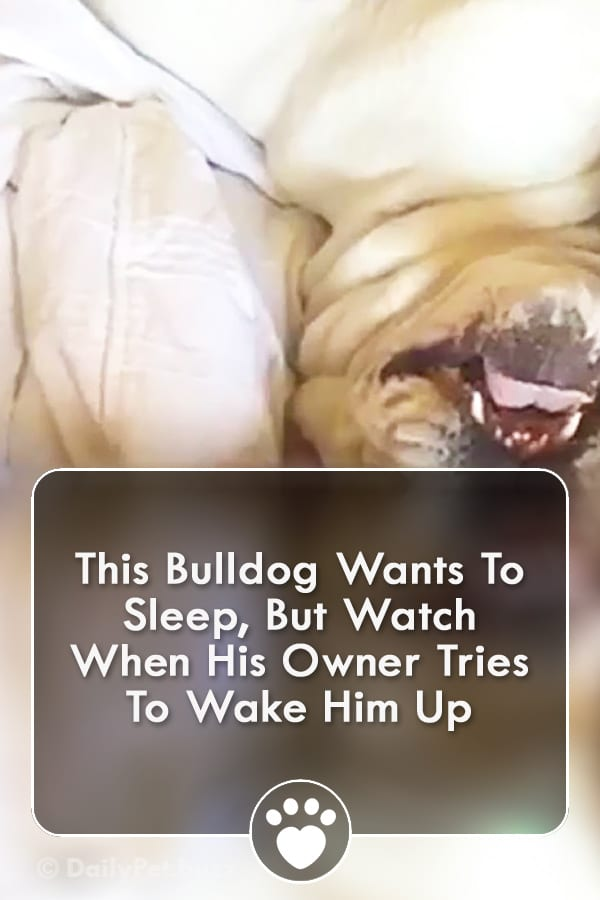 This Bulldog Wants To Sleep, But Watch When His Owner Tries To Wake Him Up
