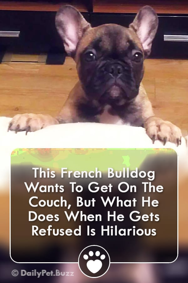 This French Bulldog Wants To Get On The Couch, But What He Does When He Gets Refused Is Hilarious
