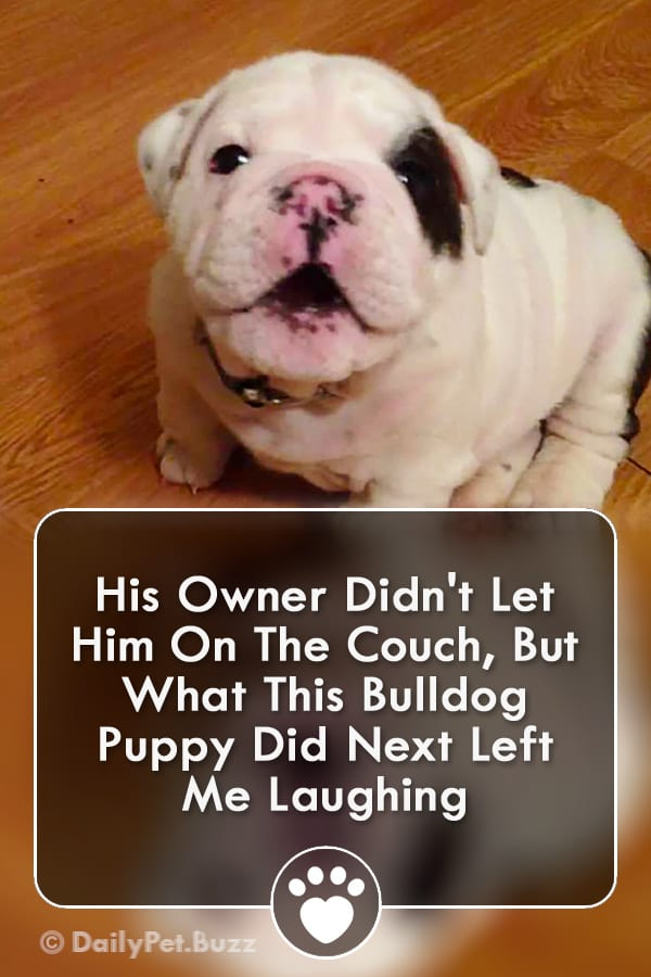 His Owner Didn\'t Let Him On The Couch, But What This Bulldog Puppy Did Next Left Me Laughing