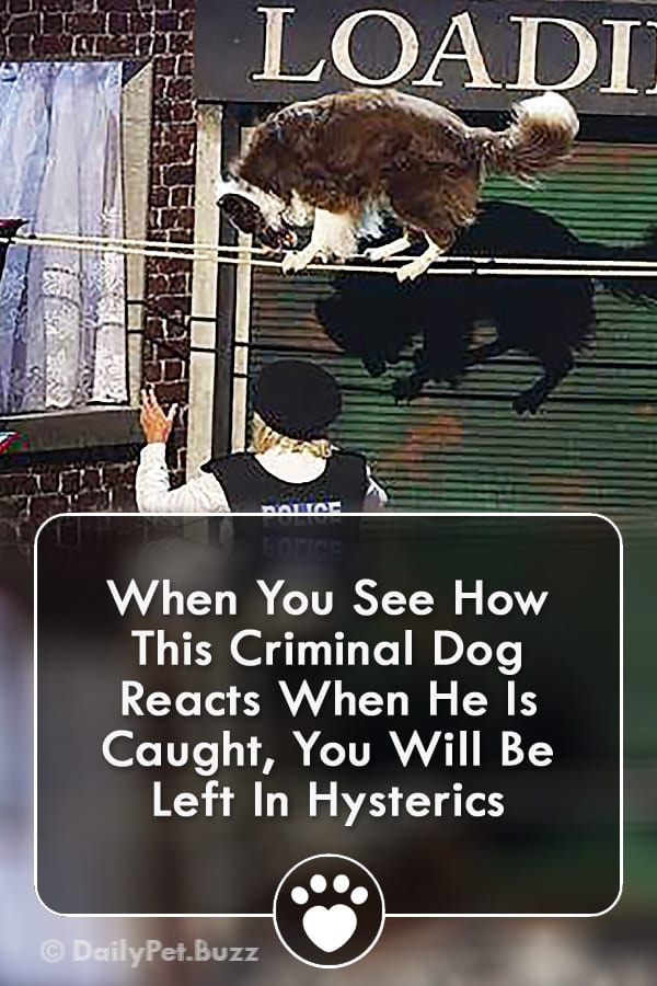 When You See How This Criminal Dog Reacts When He Is Caught, You Will Be Left In Hysterics