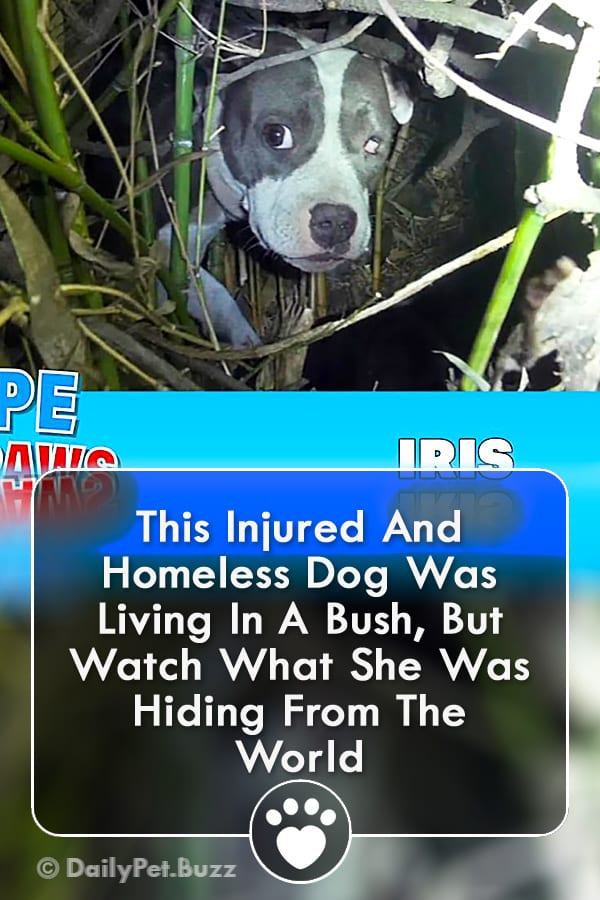 This Injured And Homeless Dog Was Living In A Bush, But Watch What She Was Hiding From The World