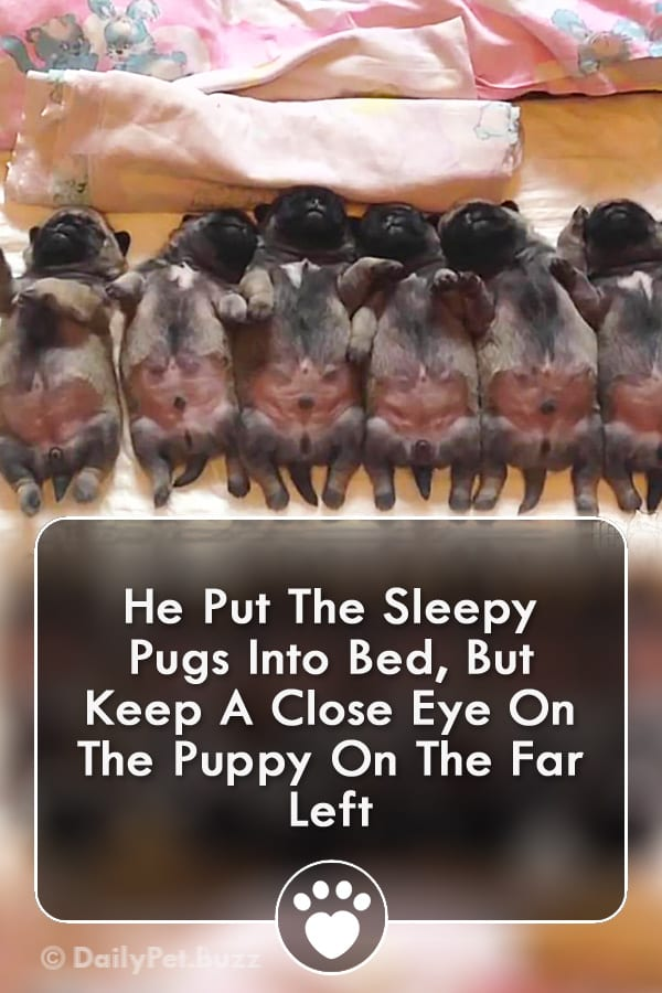 He Put The Sleepy Pugs Into Bed, But Keep A Close Eye On The Puppy On The Far Left