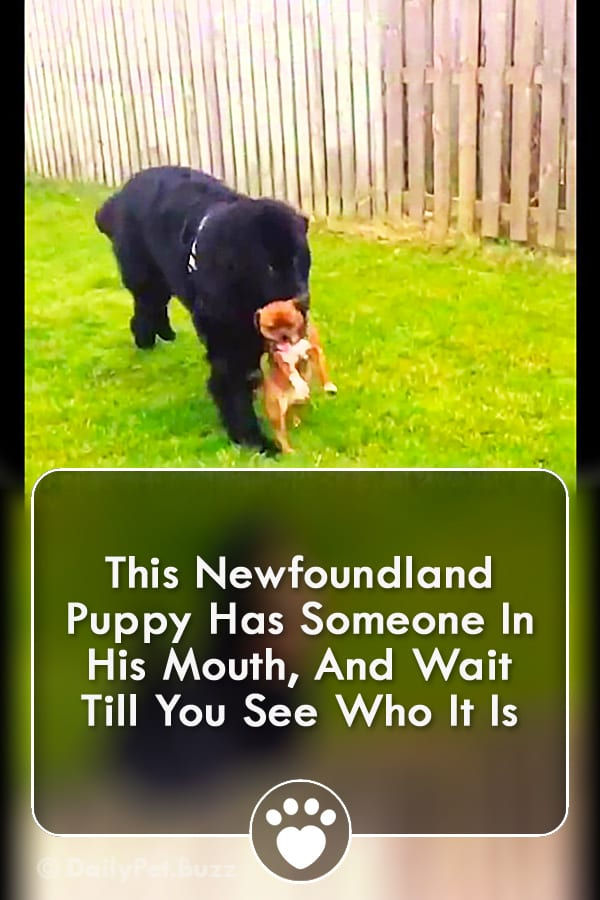 This Newfoundland Puppy Has Someone In His Mouth, And Wait Till You See Who It Is