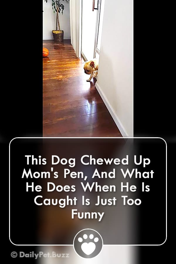 This Dog Chewed Up Mom\'s Pen, And What He Does When He Is Caught Is Just Too Funny