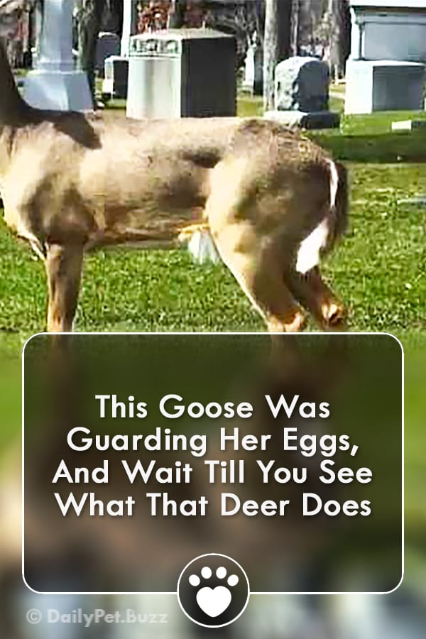 This Goose Was Guarding Her Eggs, And Wait Till You See What That Deer Does