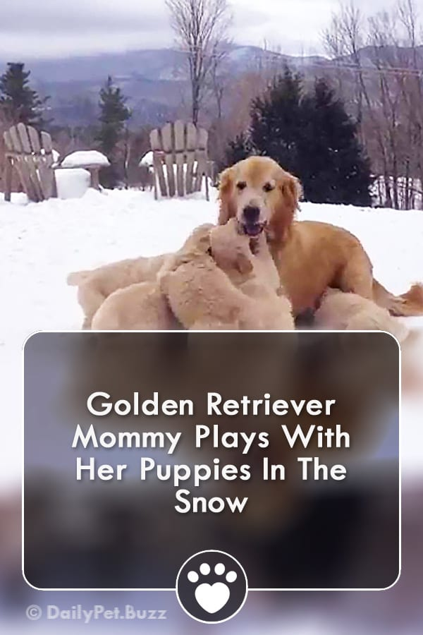 Golden Retriever Mommy Plays With Her Puppies In The Snow