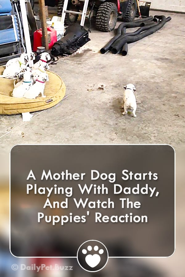 A Mother Dog Starts Playing With Daddy, And Watch The Puppies\' Reaction
