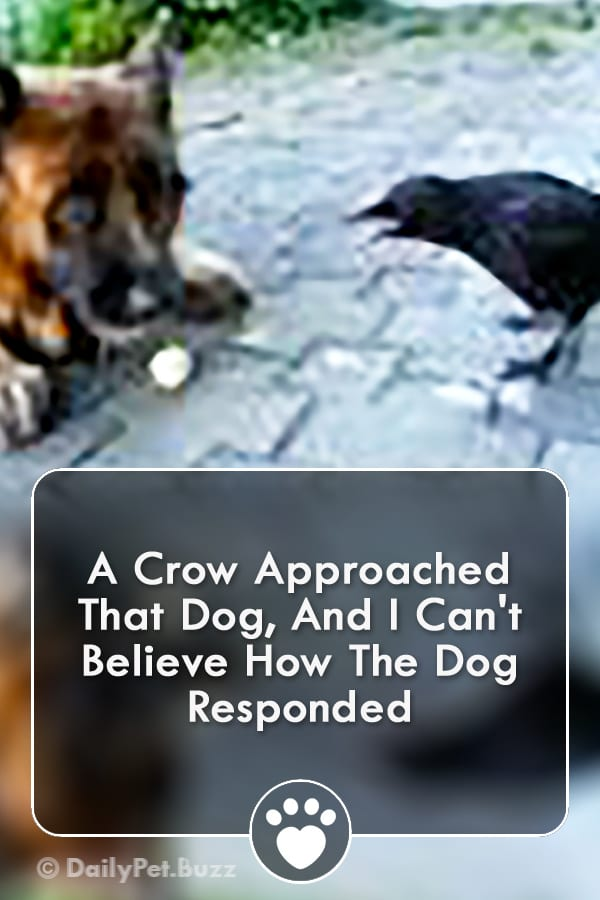 A Crow Approached That Dog, And I Can\'t Believe How The Dog Responded