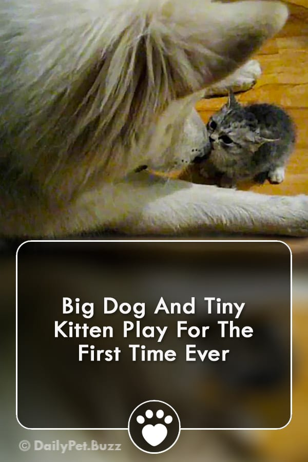 Big Dog And Tiny Kitten Play For The First Time Ever