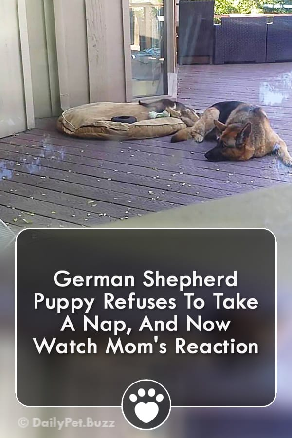 German Shepherd Puppy Refuses To Take A Nap, And Now Watch Mom\'s Reaction