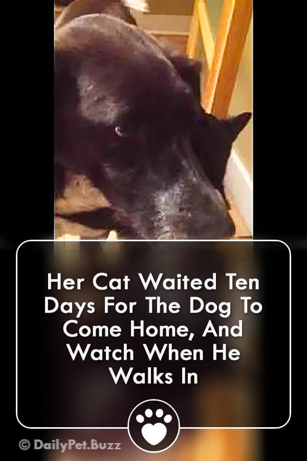 Her Cat Waited Ten Days For The Dog To Come Home, And Watch When He Walks In