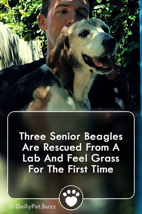Three Senior Beagles Are Rescued From A Lab And Feel Grass For The First Time