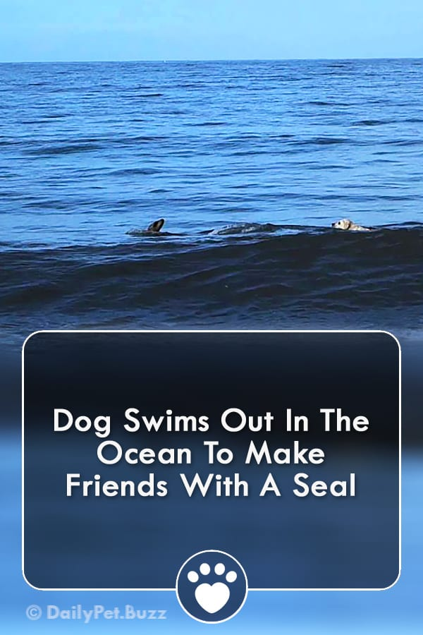 Dog Swims Out In The Ocean To Make Friends With A Seal